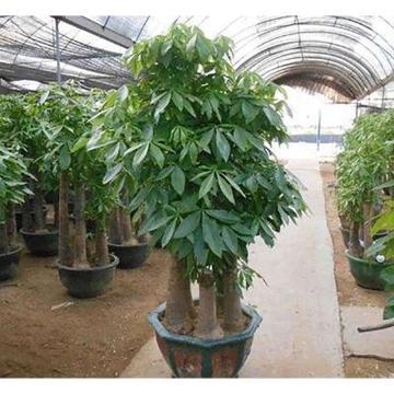 盆景,發財樹,1.2M